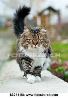 """""""Walking cat"""" - Cat stock photos available on Fotosearch.com"""