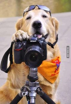 Golden Retriever Photographer say cheese. Love My Dog, Puppy Love, Funny Dogs, Cute Dogs, Funny Animals, Cute Animals, Foto Poster, Photo Chat, Tier Fotos