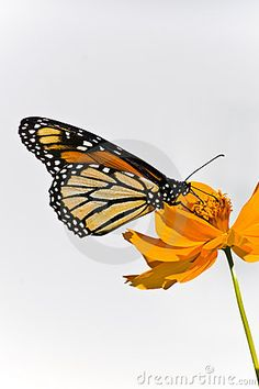 Beautiful Monarch Butterfly sitting on an orange Coreopsis. Photographed in Virgina, USA.