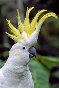 """Aussie Sulphur Crested Cockatoo-- found in many Aussie areas. GREAT MIMIC and TALKER. One of the main characters in """"Taconi and Claude-Double Trouble,"""" a fun, outback Aussie adventure for MG. All Birds, Cute Birds, Pretty Birds, Beautiful Birds, Animals Beautiful, Tropical Birds, Exotic Birds, Colorful Birds, Exotic Animals"""