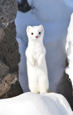 Two small black dots were staring at me from a hole in the snow. Then I saw the . Cute Creatures, Beautiful Creatures, Animals Beautiful, Cute Little Animals, Cute Funny Animals, Pet Ferret, Cute Ferrets, Tier Fotos, Albino