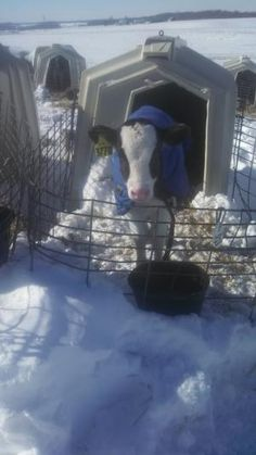 How Do Dairy Farmers Care for Cows and Calves in the Winter? | www.drink-milkblog.com