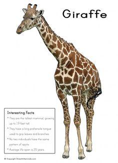 Giraffe, Interesting facts about giraffes, habitat, information ...
