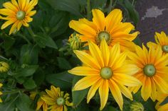 """Rudbeckia (Black Eyed Susan) """"Irish Eyes' - has 2-3 inches golden yellow flowers with a light green central cone that ages to brown.  Black eye susans are great cut flowers, can grow up to 4 feet tall.  blooms late summer to frost."""
