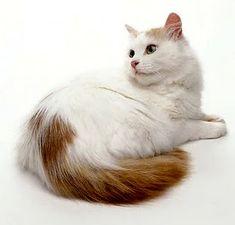 Turkish Van - the swimming cat
