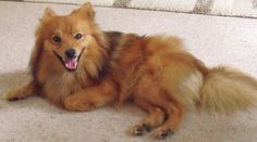As German Spitz breeders in the USA (with both the Klein along with the Mittel varieties as recognized by the UKC) we look forward to advertising this stunning breed with good quality stock to help it turn out to be much more recognized and established right here in the United states of america.