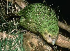Strigops habroptilus, Kakapo on branch BIRD Parakeets, Parrots, Awesome Art, Cool Art, Animal 2, Terra, Beautiful Birds, New Zealand, Image