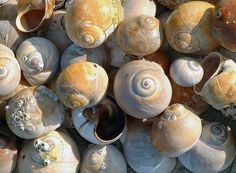 Moon Snails on West Dennis Beach