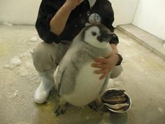 Possible the cutest little penguin you'll see today