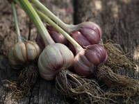 Vypěstujte si zdravý česnek: termín výsadby, hnojení, moření