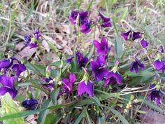 제비꽃 manchurian violet