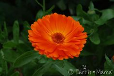 """Calendula, (Calendula officinalis) is an herb long used for hastening the healing of wounds while fighting infection. According to eclectic herbal journals, """"Where calendula is, no pus will form."""" Along with its wound-healing and antiseptic properties, this sunny, versatile little herb is also used externally as a styptic (to slow bleeding) and for soothing eczema, psoriasis, burns, scrapes and sunburn {Click to learn more in Mama's Herb Garden}"""