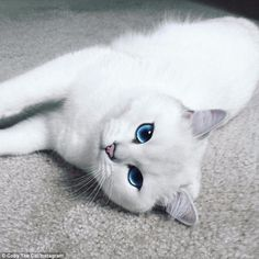Purrrfect: Coby the Cat has stunning icy blue eyes and a snow white coat...