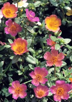 Moss rose is the gardeners choice for the hottest driest most problematic spots in the garden This succulent plant thrives in heat drought and lousy soil rewarding garden. Planting Succulents, Garden Plants, Planting Flowers, Outdoor Plants, Outdoor Gardens, Colorful Flowers, Beautiful Flowers, Growing Moss, Rose Got