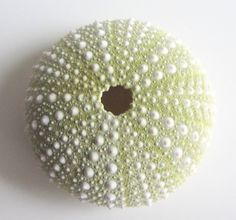 Green Sea Urchin - click the image to buy