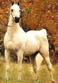 Ansata Ibn Sudan (Ansata Ibn Halima x Ansata Bint Mabrouka) A 1965 Egyptian Arabian stallion who was U.S. National Champion Halter Stallion.