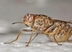 Un equipo de científicos internacional ha secuenciado el material genético de una de las especies de la mosca tse-tsé. El análisis proporcio...