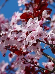 Flor De Almendro, Los Cerezos En Flor