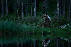 Noční hra na schovávanou, neviditelná medvědice. Někde u hranic Finska s Ruskem; f/3.2, 1/100s, ISO 5000, 1DX, 400/2.8 L IS II USM www.NaturePhoto.cz | www.NatureArt.cz | www.TerraViridis.cz