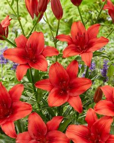 Considered one of the best red Asiatics, Red Highland has substantive, upward-facing bright red flowers with matching bright red stamens and slightly darker red center. Bulb Flowers, Red Flowers, Asiatic Lilies, Alice In Wonderland, Oriental, Landscape, Spring, Garden, Plants