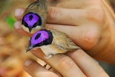 Funny pictures about Purple-crowned fairy wrens. Oh, and cool pics about Purple-crowned fairy wrens. Also, Purple-crowned fairy wrens photos. Pretty Birds, Love Birds, Beautiful Birds, Animals Beautiful, Cute Animals, Small Birds, Birds 2, Exotic Birds, Colorful Birds