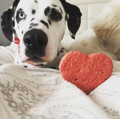 Can i eat that already? Valentine's Day is over!  // Ya me la puedo comer? San Valentín ya termino! . #igclubdogs #dog_features #my_loving_pet #excellent_dogs #topdogphoto  #instagrampetphotos #showcasing_pets #bestwoof #weeklyfluff #dogsofinstagram #dogsofinstaworld #cutepetclub #sendadogphoto #lacyandpaws  #doglovers #igcutest_animals #dog #dalmata #dalmatianworld #dalmatians_of_instagram  #dalmatianspotlight #puppy  #perrosdeinstagram #dalmatian #dalmatiandog #dalmatian_pics #dalmatastyle…