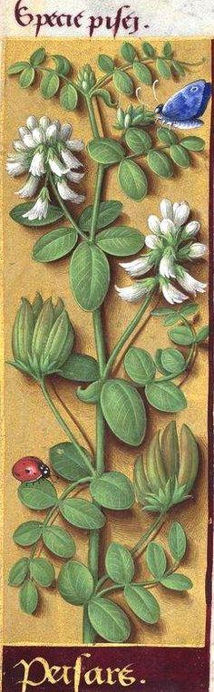 """Peisars - Specie pisei (Astragalus glycyphyllos L. = réglisse bastarde -- Jussieu dit """"pois sauvages"""") -- Grandes Heures d'Anne de Bretagne, BNF, Ms Latin 9474, 1503-1508, f°14v"""