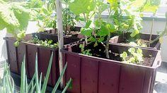 horta em casa 3