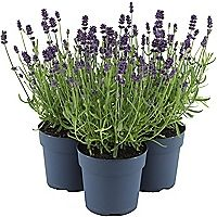 Discover the right shrubs for your garden borders online & instore today. Homebase has you covered when it comes to the best garden shrubs, find yours now. Lavender Garden, Garden Shrubs, Outdoor Gardens, Garden, Garden Borders, English Lavender, Amazing Gardens, Plants, Outdoor Living Diy