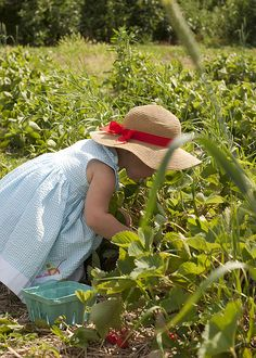 little girl with straw hat picking strawberries #cute
