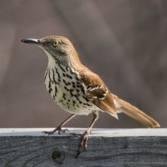 https://flic.kr/p/Uy3peD | Brown thrasher (Moqueur roux) | Images taken by hoan luong is licensed under a Creative Commons Attribution-NonCommercial-NoDerivs 3.0 Unported License.