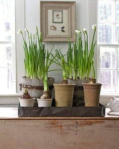 A spot of spring in the winter:  Forced bulbs in the home of Nora Murphy Country House
