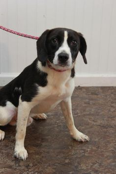 Leroy - URGENT - CHRISTIAN COUNTY ANIMAL SHELTER in Hopkinsville, Kentucky - ADOPT OR FOSTER - 10 MONTH OLD Male Beagle Mix