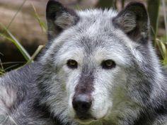 Hout Wolf, Wolf, Dierlijke, Zoogdier, Hond, Natuur