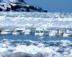 Swans on wintry lake, Sakhalin, Russia