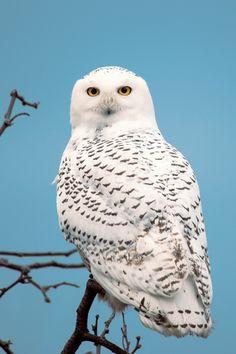 Snowy Owl, Maine, Down East Magazine Beautiful Owl, Animals Beautiful, Cute Animals, Owl Photos, Owl Pictures, Owl Bird, Pet Birds, Arctic Habitat, Especie Animal