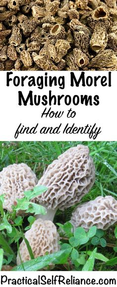 Foraging Morel Mushrooms - How to Find and Identify Morels Foraging Morel Mushrooms - How to Find and Identify Morels Growing Mushrooms, Wild Mushrooms, Stuffed Mushrooms, Moral Mushrooms, Mushroom Spores, Mushroom Cultivation, Edible Mushrooms, Mushroom Hunting, Wild Edibles