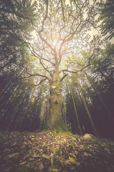 """happymelvin: """"The taller we are… .the harder we eventually will fall. Latest addition to my shop found –> HERE Nature Images, Nature Pictures, Mystical Forest, Forest Park, Green Trees, Canvas Prints, Art Prints, New Wall, Beautiful Images"""