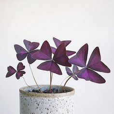 @theceramicsedit Love this 'love plant': Oxalis triangularis