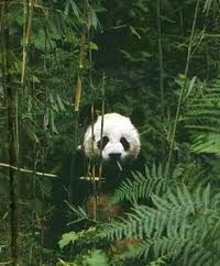 The giant panda lives in a few mountain ranges in central China.