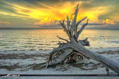 Sanibel Island Driftwood at Beach