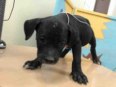 05/08/17-~ local foster needed❗~owner surrender - HOUSTON-EXTREMELY URGENT -This DOG - ID#A483094 I am a female, black and white Labrador Retriever. The shelter staff think I am about 9 weeks old. I have been at the shelter since May 08, 2017. This information was refreshed 2 hours ago and may not represent all of the animals at the Harris County Public Health and Environmental Services.