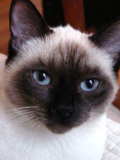 Siamese cat.  My Scarlett.