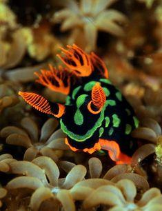 NUDIBRÂNQUEO - animal aquático que tem as brânquias ou guelras a descoberto. Guelra (órgão respiratório que funciona utilizando o oxigénio dissolvido na água.