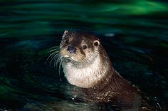 A new TRAFFIC report has found 6,000 otters seized in Asia over the past 35 years and warns that the figure is but a fraction of the actual little-documented illegal trade. The vast majority of the 167 enforcement cases from 15 Asian countries studied involved seizures of otter skins in China and India.