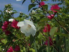 swamp hibiscus-white variety
