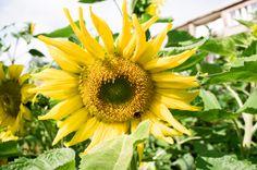 Because I'm #happy #sunflower