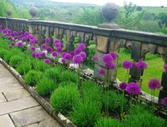 giant allium in perennial garden--I'm in love with these! giant allium in perennial garden--I Allium Flowers, Planting Flowers, Blooming Flowers, Autumn Garden, Summer Garden, Garden Kids, Party Garden, Garden Shrubs, Garden Plants
