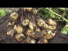 YouTube Небольшая Ферма, Выращивание Овощей, Сельское Хозяйство, Овощной Огород, Картошка, Огородничество, Картофель, Сад