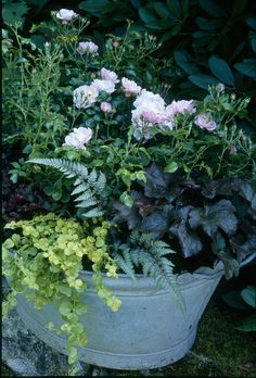 The light-pink blooms of Flower Carpet Appleblossom with painted fern, dark heuchera and creeping Jenny in an old recycled metal washtub
